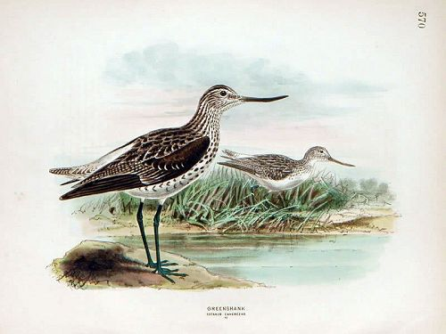 GREENSHANK Henry Dresser Keulemans Wolf Birds Europe 1871 London