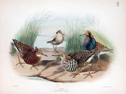 RUFF SANDPIPER Henry Dresser Keulemans Birds Europe 1878 London