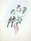 MINIVET WHITE BELLIED John Gould Birds Asia Antique London