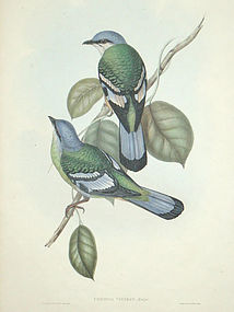 Gould Birds of Asia Antique Print Green Cochoa