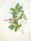 SUNBIRD FIRE TAILED John Gould Hart Richter Wolf Birds Asia Antique