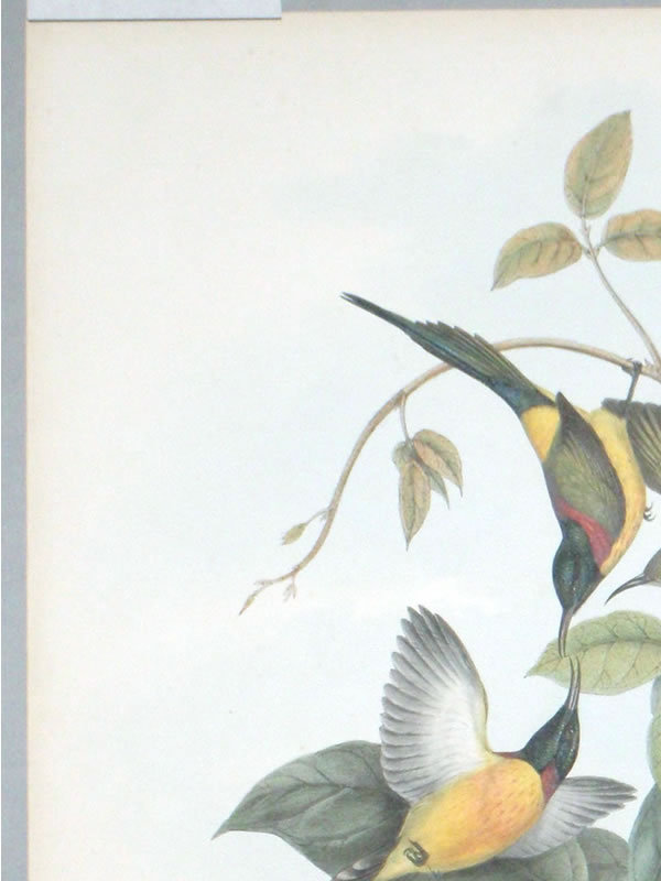 Gould Birds of Asia Antique Print Nepaulese Sunbird