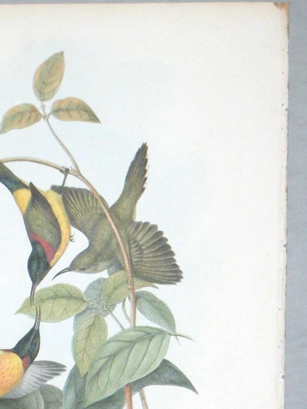 Gould Birds of Asia Antique Print Nepaulese Sunbird