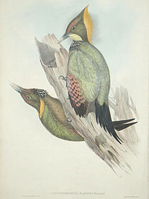WOODPECKER YELLOW NAPED John Gould Richter Birds Asia Antique London