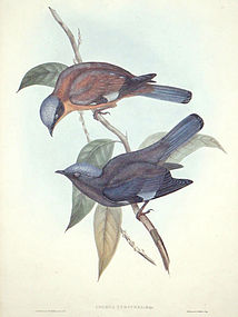Gould Birds of Asia Antique Print Purple Cochoa