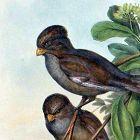 PARADOXORNIS LONG TAILED John Gould Birds Asia Antique London