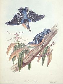 NUTHATCH BEAUTIFUL John Gould Richter Wolf Birds Asia Antique London