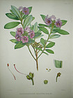 RHODODENDRON CILIATED Sir W J Hooker Sikkim Himalaya 1851 London