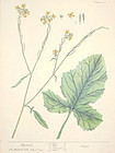 MUSTARD SINAPI Elizabeth Blackwell Curious Herbal 1739 London