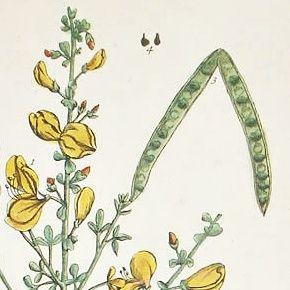Elizabeth Blackwell A Curious Herbal Broom