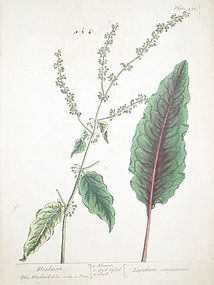 Elizabeth Blackwell A Curious Herbal   Bloodwort