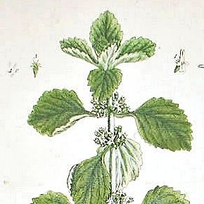 WHITE HOREHOUND Elizabeth Blackwell Curious Herbal 1739 London