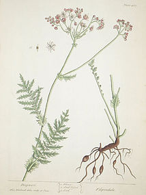 Elizabeth Blackwell A Curious Herbal Dropwort