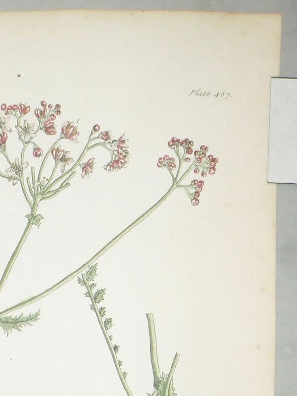 Elizabeth Blackwell A Curious Herbal Dropwort