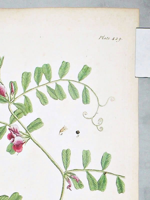 Elizabeth Blackwell A Curious Herbal Vetch Vicia