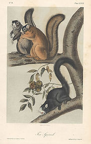SQUIRREL FOX John Audubon Quadrupeds Octavo 1854 New York