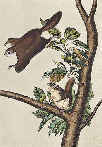 Audubon 8vo Flying Squirrel Hand Colored Lithograph