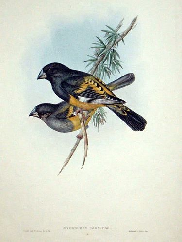 GROSBEAK FLESH FOOTED John Gould Hart Richter Wolf Birds Asia Antique