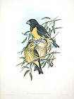 GROSBEAK BLACK YELLOW John Gould Hart Richter Wolf Birds Asia Antique