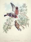 GROSBEAK BURTON John Gould Richter Wolf Birds Asia Antique London