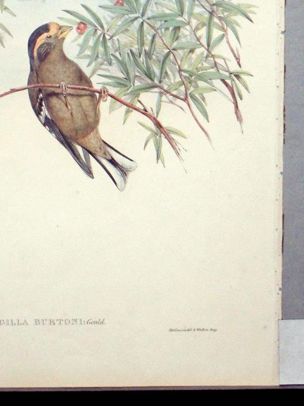 Gould Birds of Asia Antique Print Burton's Grosbeak