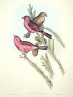 GROSBEAK RED MANTLED John Gould Hart Richter Wolf Birds Asia Antique