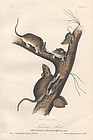 RAT FLORIDA John Audubon Quadruped Royal Octavo Antique New York