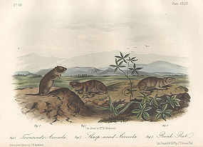 Audubon 8vo Arvicolas Hand Colored Lithograph