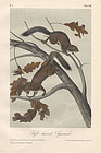 SQUIRRELS SOFT HAIRED John Audubon Quadruped Royal Octavo Antique