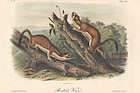 WEASEL BRIDLED John Audubon Quadruped Royal Octavo Antique New York