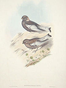 Gould Birds  Asia Antique Print Northern Mountain Finch