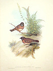 ACCENTOR RED BREASTED John Gould Richter Birds Asia Antique London