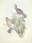 WRYNECK INDIAN John Gould Richter Wolf Birds Asia Antique London