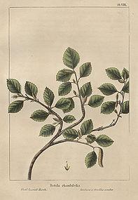 BIRCH OVAL LEAVED North American Sylva Michaux 1857 Philadelphia