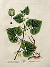 CREEPING BIRTHWORT Elizbeth Blackwell Curious Herbal Deluxe 1739