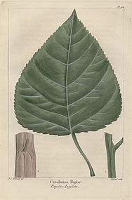 POPLAR CAROLINIAN POPULUS North American Sylva Michaux Redoute 1857
