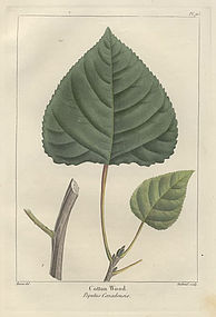 POPLAR COTTON WOOD CANADIAN North American Sylva Michaux Bessa 1857