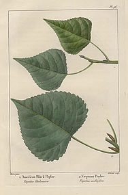 POPLARS Virginian Black North American Sylva Michaux 1857 Philadelphia