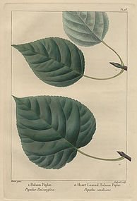 POPLARS BALSAM HEART LEAVED North American Sylva Michaux Bessa 1857