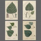 Four Poplar Prints from North American Sylva