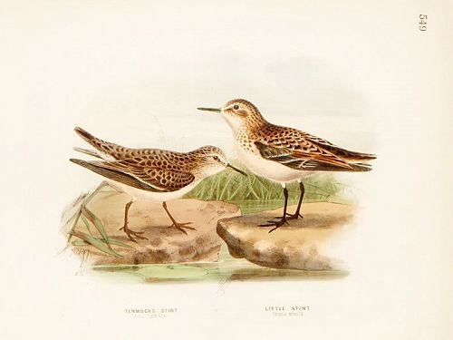 STINT TEMMINCK LITTLE Henry Dresser Keulemans Birds Europe 1871 London