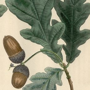 OAK COMMON EUROPEAN WHITE North American Michaux 1857