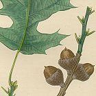 OAK CHENE QUERCITRON Michaux North American Sylva 1857 Philadelphia