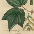 MOOSE WOOD North American Sylva Michaux 1857 Philadelphia
