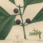 DEVIL WOOD North American Sylva Michaux 1857 Philadelphica