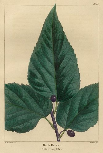 BERRY HACK North American Sylva Michaux 1857 Philadelphia