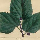 BERRY HACK North American Sylva Michaux 1857 Philadelphia