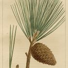 PINE PITCH North American Sylva Michaux 1857 Philadelphia