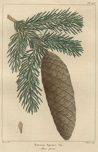 FIR NORWAY SPRUCE North American Sylva Michaux 1857 Philadelphia