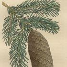 FIR NORWAY SPRUCE North American Sylva Michaux 1857 Philadelphia